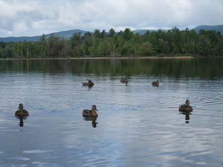 Ducks Attack On Great Lake Sacandaga