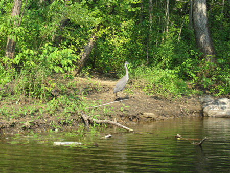 Blue Heron Watches Me . . .