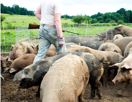Selecting A Pig to Slaughter: That's How It's Done