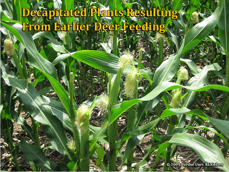 Corn Damaged By Deer (Purdue University)