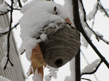 Hornet's Nest In Front Of My House