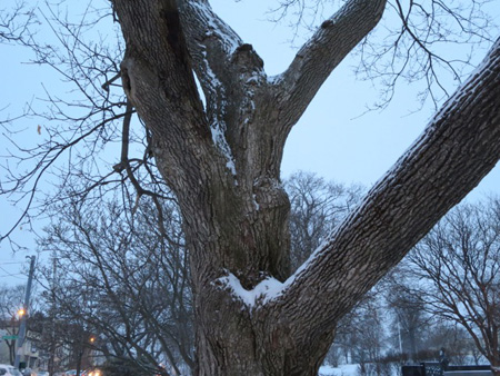 Tree, Lincoln Park, Dawn, Snow, January