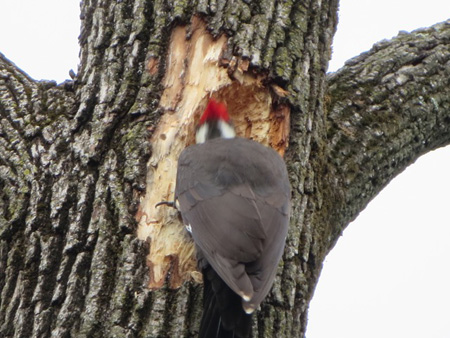 The Head Is A Blur As This Pileated Woodpecker Drills