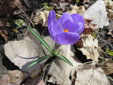 First Flower Of March Popping Through The Leaf Litter
