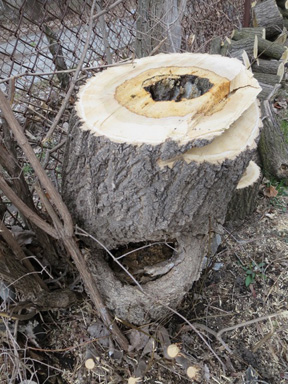 The Stump: This (Ash?) Tree Was Not Long For This World