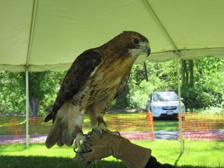 An Enormous Red Tailed Hawk